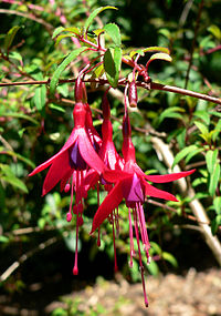 Fuchsia campos-portoi 1