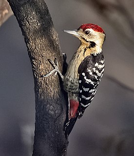 Fulvous-breasted Woodpecker (Dendrocopos macei) at Kolkata I IMG 3848.jpg