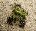 Furcellaria (enteromorpha).JPG
