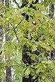 Galles Pommes de Chêne 3.jpg