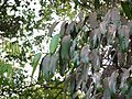 Garcinia xanthochymus (7090333039).jpg