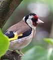 Garden Goldfinch (5891845346).jpg