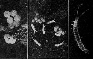 Symphyla - Life stages of symphylans: eggs, juvenile, and adult Scutigerella immaculata