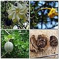 Gardenia volkensii subsp. spatulifolia.jpg
