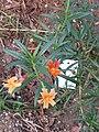 Gardenology.org-IMG 2712 ucla09.jpg