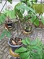 Gardenology.org-IMG 7758 qsbg11mar.jpg