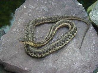 Garter snake - Young garter snake