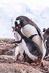 Gentoo Penguin (24940360485).jpg
