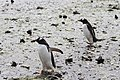 Gentoo penguins in action (24601333526).jpg
