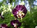 Geranium phaeum flower.jpg