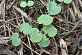 Geranium pyrenaicum kz10.jpg