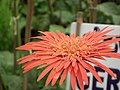 Gerbera from Lalbagh flower show Aug 2013 7967.JPG