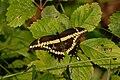 Giant Swallowtail Butterfly.JPG