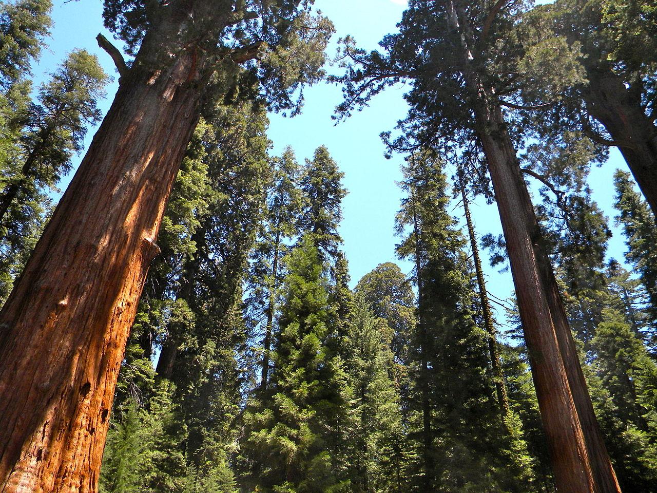 Giantsequoias.JPG