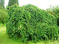 Giardino di Ninfa 50.jpg