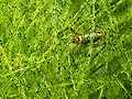 Gimpressionist 49 circir cricket 0020 2 nevit.jpg