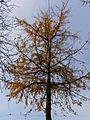 Ginkgo.autumn.2075.jpg