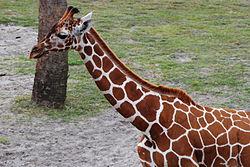 GiraffeJaxZoo