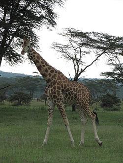 Girafe et effet de gravité dans GIRAFE