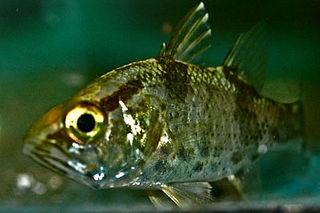 <i>Glossamia</i> genus of fishes