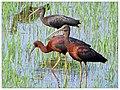Glossy ibis(Plegadis falcinellus).JPG