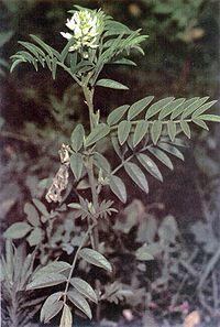 Glycyrrhiza lepidota plant