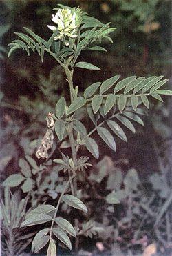 Glycyrrhiza lepidota.jpg