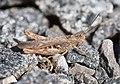 Glyptobothrus brunneus.JPG