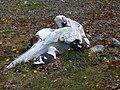 Goéland dominicain couvant à l'abri d' un crâne de cétacé - panoramio.jpg