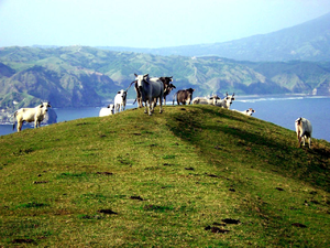 Batanes - Livestock freely roaming in the green hills in Batanes