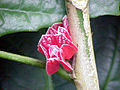 Goethea cauliflora0.jpg