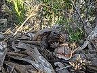 Gopherus polyphemus walking through brush near Caspersen Beach.jpg