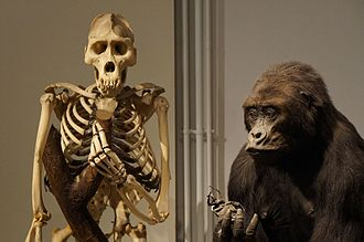 Eastern lowland gorilla - Skeleton and stuffed of Eastern lowland gorilla at MHNLille