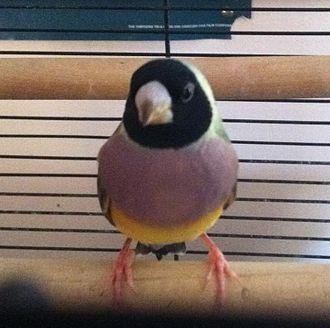 Gouldian finch - Black headed female Gouldian finch