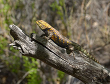 Grand Canyon Nat. Park Desert Spiny Lizard (Sceloporus magister) 3414.jpg