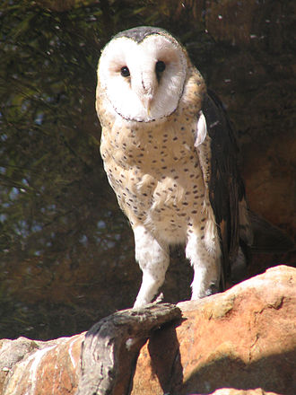 """Tyto - African grass owl, Tyto capensis The """"grass owls"""" are two rather long-legged species of Tyto."""