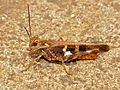 Grasshopper (Acrididae) (11775344064).jpg