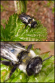 Graue Sandbiene (Andrena cineraria) - Photos 08.04.2012 - HMS(1).png