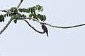 Gray-headed Kite (Leptodon cayanensis) (7222539816).jpg
