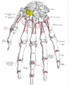 Gray220 - Trapezoid bone.png