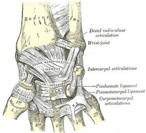 Ligaments of wrist. Posterior and anterior views