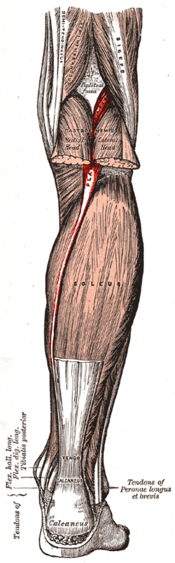 Gray438-Musculus plantaris.png