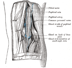 Lymph glands of popliteal fossa.