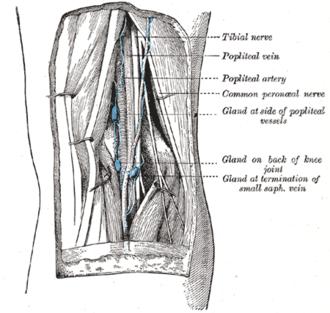 Popliteal fossa - Lymph glands of popliteal fossa