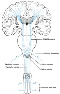 Medial lemniscus