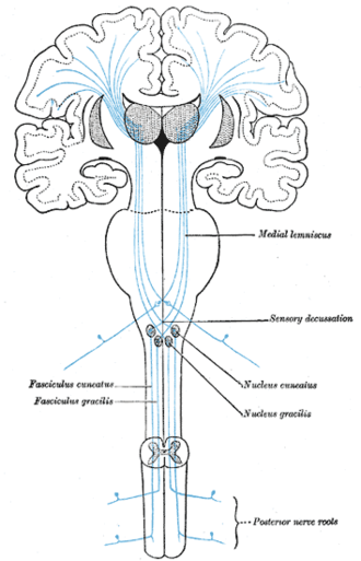 Somatosensory system - Gray's Anatomy, figure 759: the sensory tract, showing the pathway (blue) up the spinal cord, through the somatosensory thalamus, to S1 (Brodmann areas 3, 1, and 2), S2, and BA7
