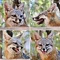 Gray Fox face (35486492295).jpg