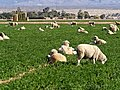 Grazing Sheep (23233296650).jpg