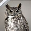 Great-horned Owl (female) (18376669048).jpg