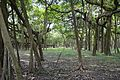 Great Banyan Tree - Indian Botanic Garden - Howrah 2012-09-20 0049.JPG